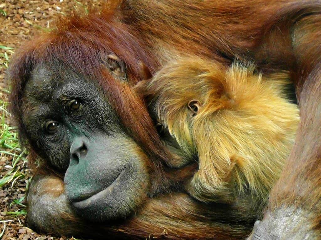 bali orangutan, unethical bali
