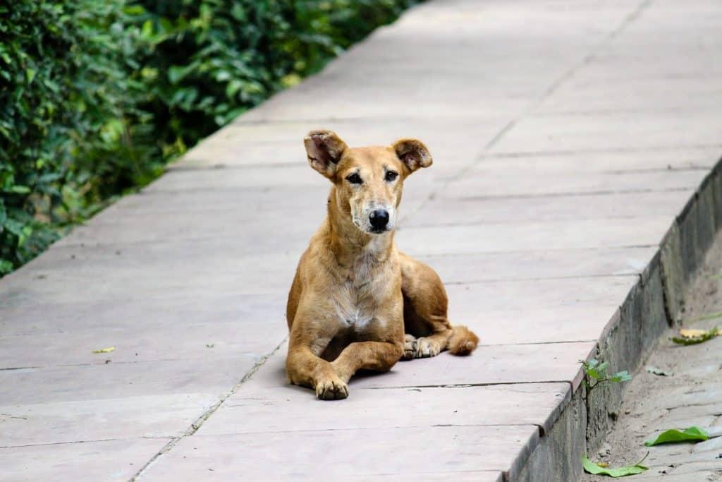 stray dog Bali